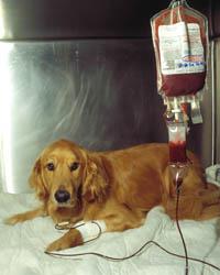 Grupos sanguíneos caninos y transfusiones de sangre. (2/6)