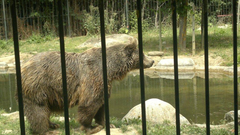 El oso pardo: casi totalmente extinguido en España. (6/6)