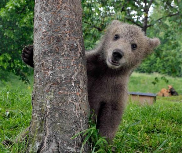 El oso pardo: casi totalmente extinguido en España. (5/6)