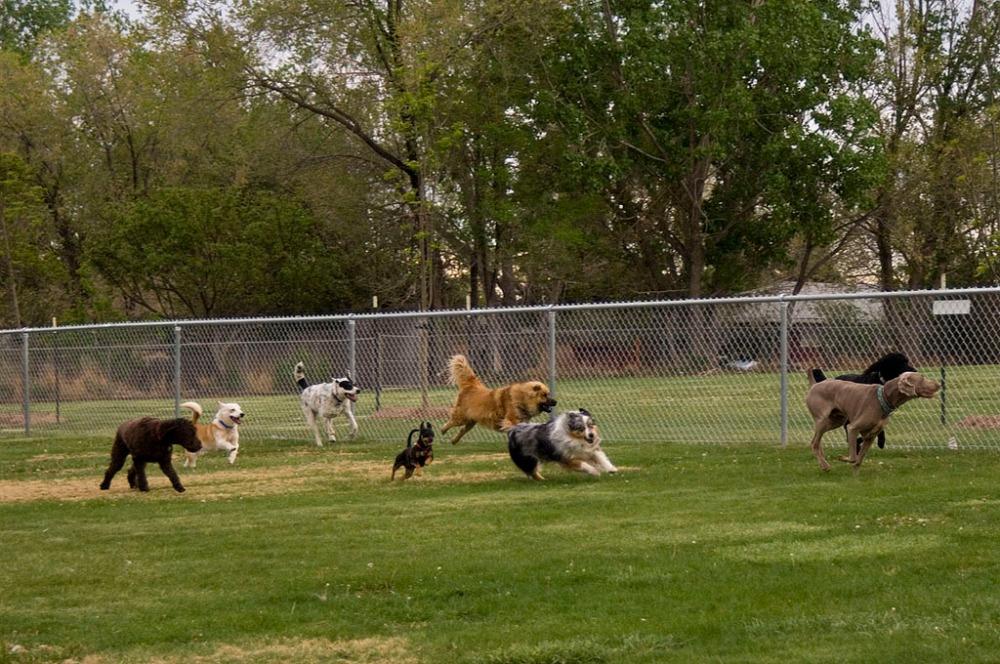 La tos de las perreras o rinotraqueitis infecciosa canina. (2/6)
