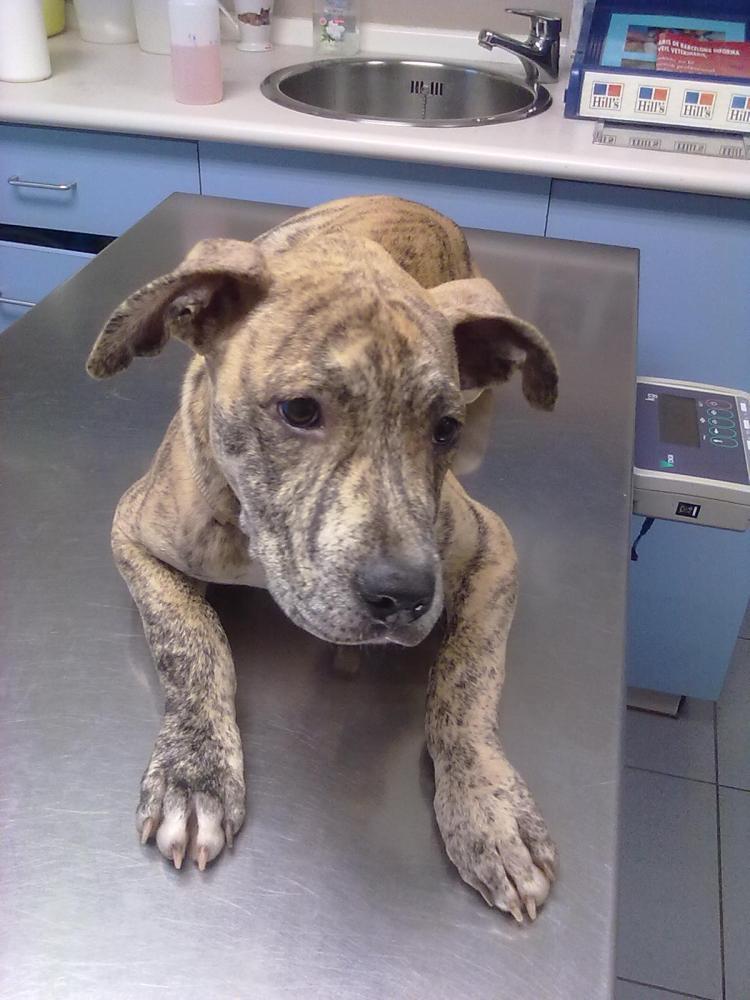 La tos de las perreras o rinotraqueitis infecciosa canina. (5/6)