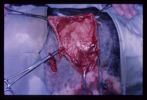 Herida traumática por mordedura en el tórax de un perro.