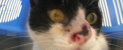 Nasal tumor in a FELV positive cat.