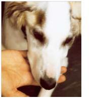 Atrofia muscular importante en un perro con miositis de los músculos masticadores.