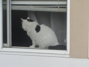 Gato en Capitol Hill, Seattle.