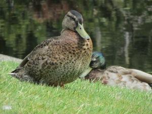 Pato en el estanque junto a la escuela.