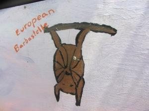Bats: european barbastrelle.