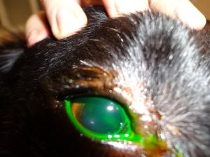 El colirio adquiere un color verdoso y hemos de lavar con suero para ver si se adhiere o no a la córnea.