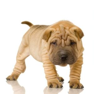 perros-shar-pei-chino