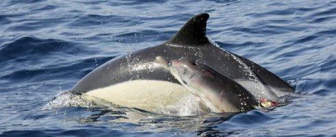 Alonso, la pequeña cría de delfín ha vuelto con su madre