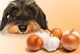 Resultado de imagen de perro cebolla