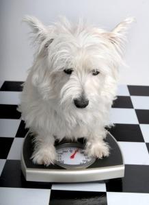 perro-obeso
