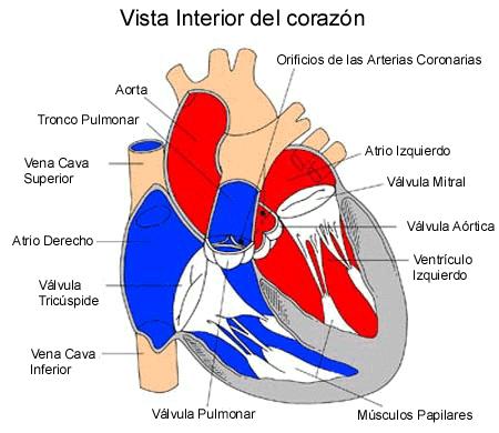Vista_interior_del_corazón