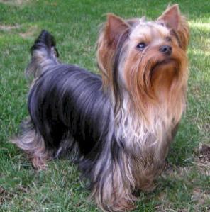 razas_ppal_yorkshire terrier_a