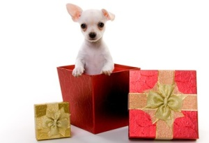 Adorable White Puppy standing inside of a Gift Box