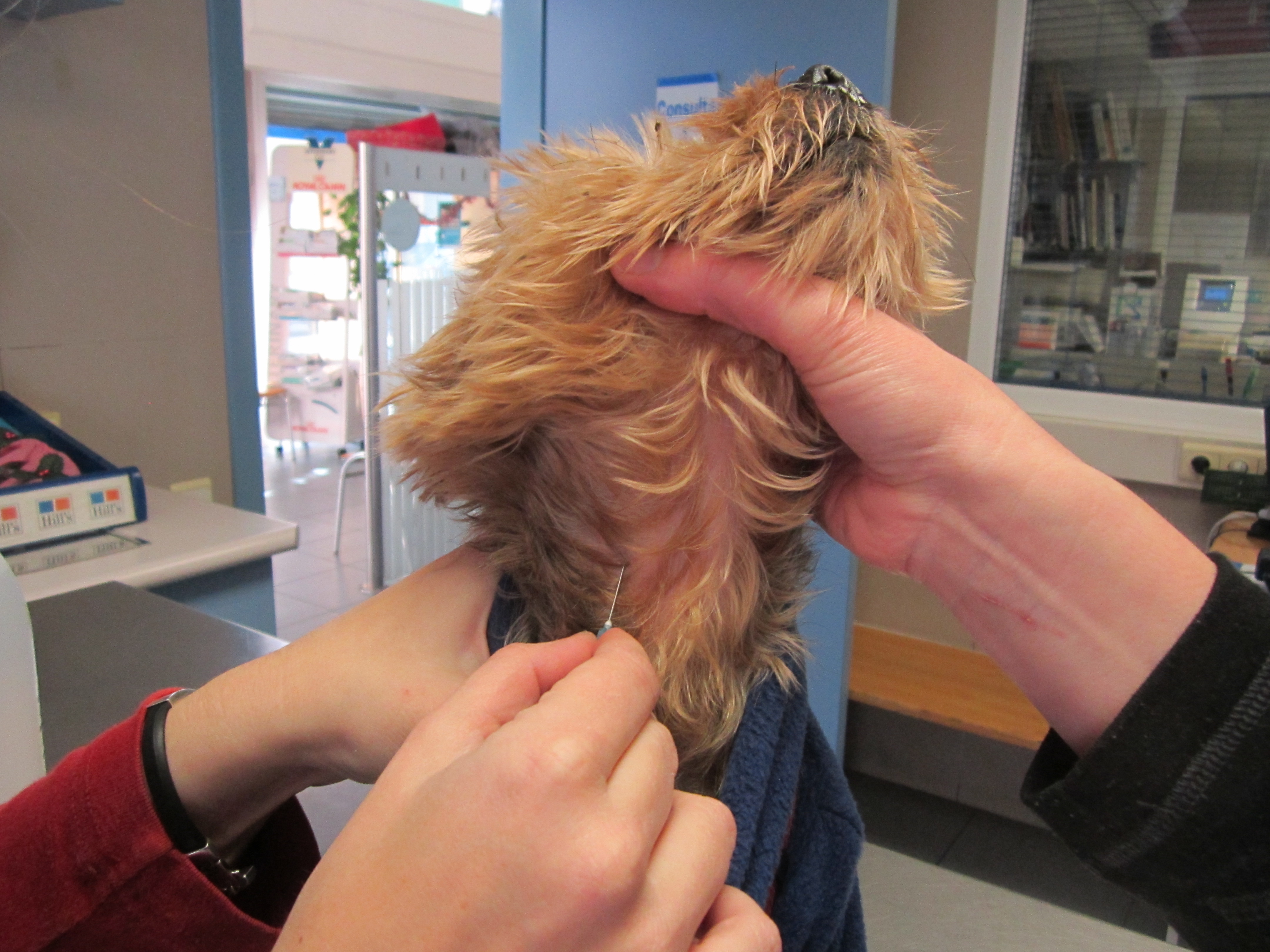 hernia perineal perro   historiasveterinarias/vetstories