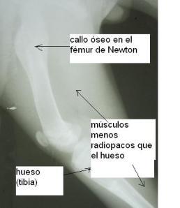 En la pata de atrás, los huesos también han evolucionado bien.