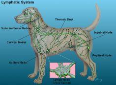 Resultado de imagen para Inflamación del ganglio linfático (linfadenopatía) en perro