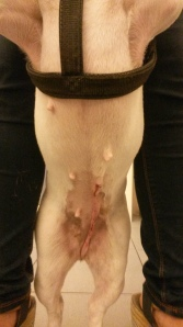 Herida operatoria de LLuna.