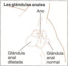 las-glandulas-anales-de-los-perros