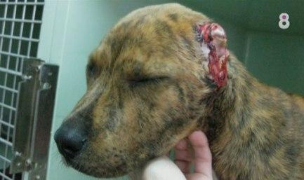 cachorro-orejas-cortadas-mataro-barcelona