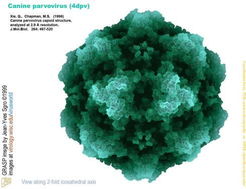 Estructura del virus de la Parvovirosis canina.