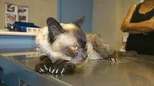 Postura poco habitual de un gato en la consulta. Su posición y actitud indican dolor.