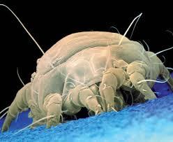 Acaro del polvo de casa: uno de los alergenos más comunes.