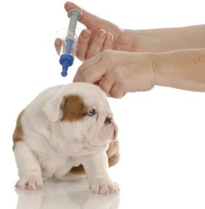Cachorro de Bulldog Ingles recibiendo su primera vacuna.